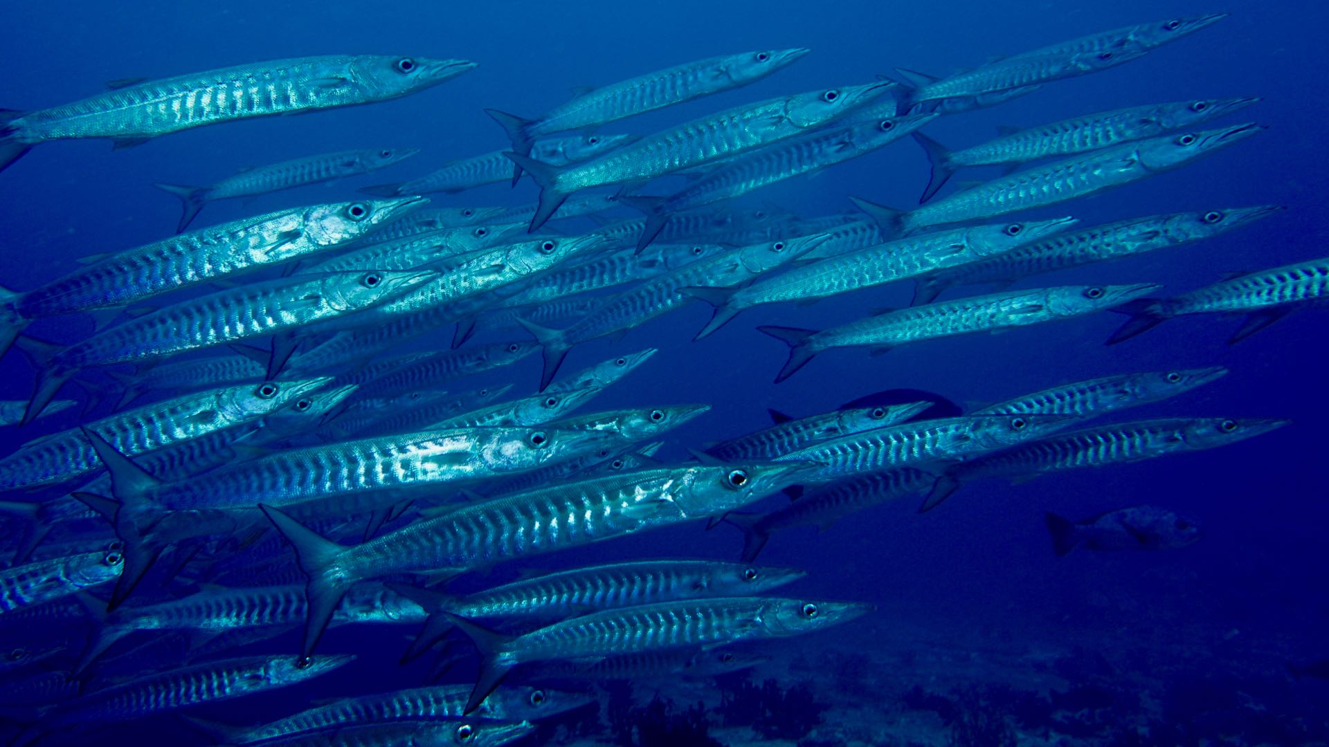 Barracuda Maldives Liveaboards Divemood