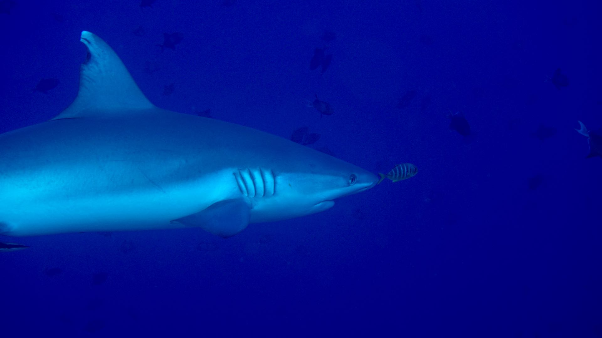 Grey reef shark Maldives Liveaboard diving