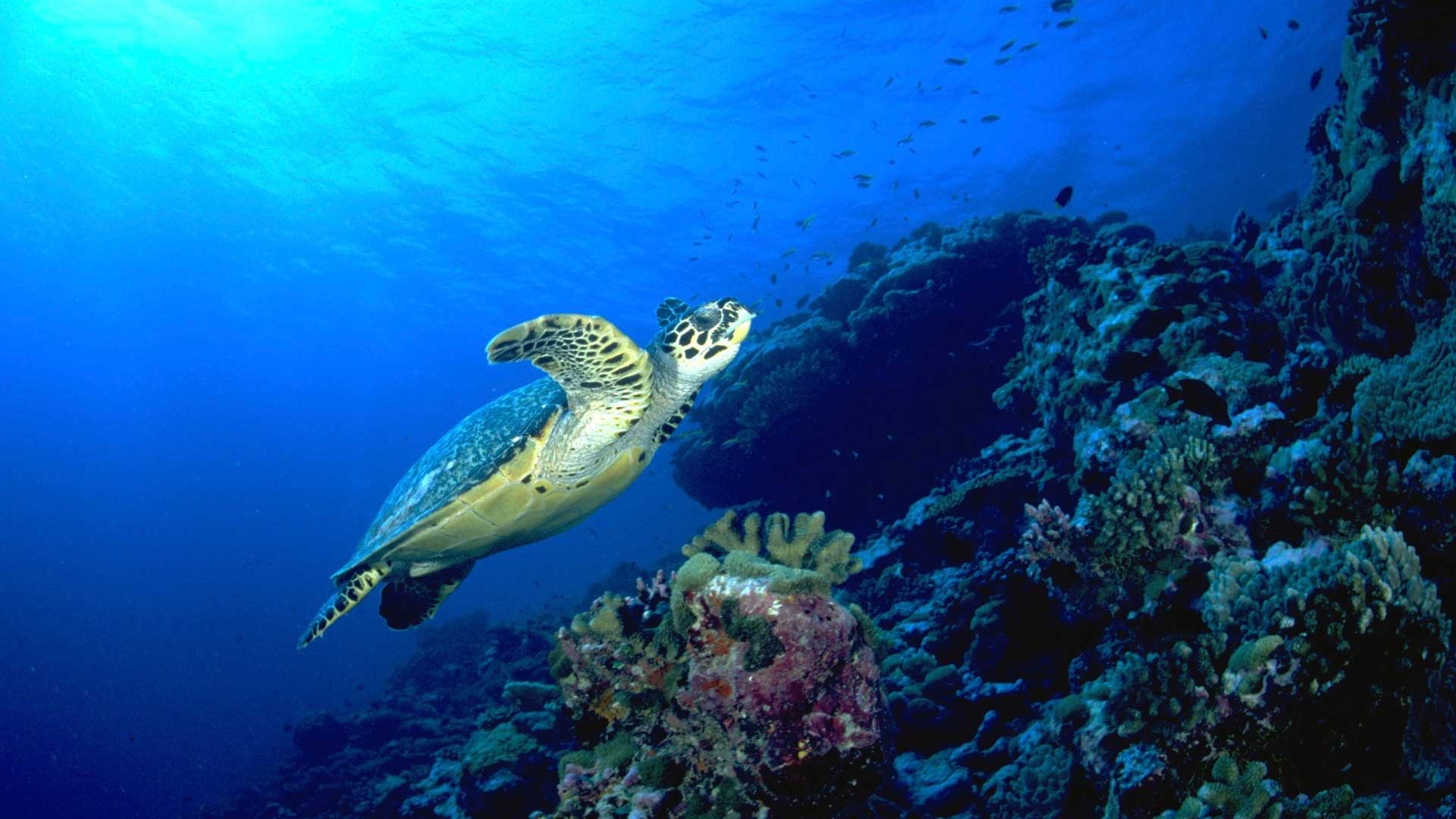 Hawksbill turtle Maldives Liveaboard diving