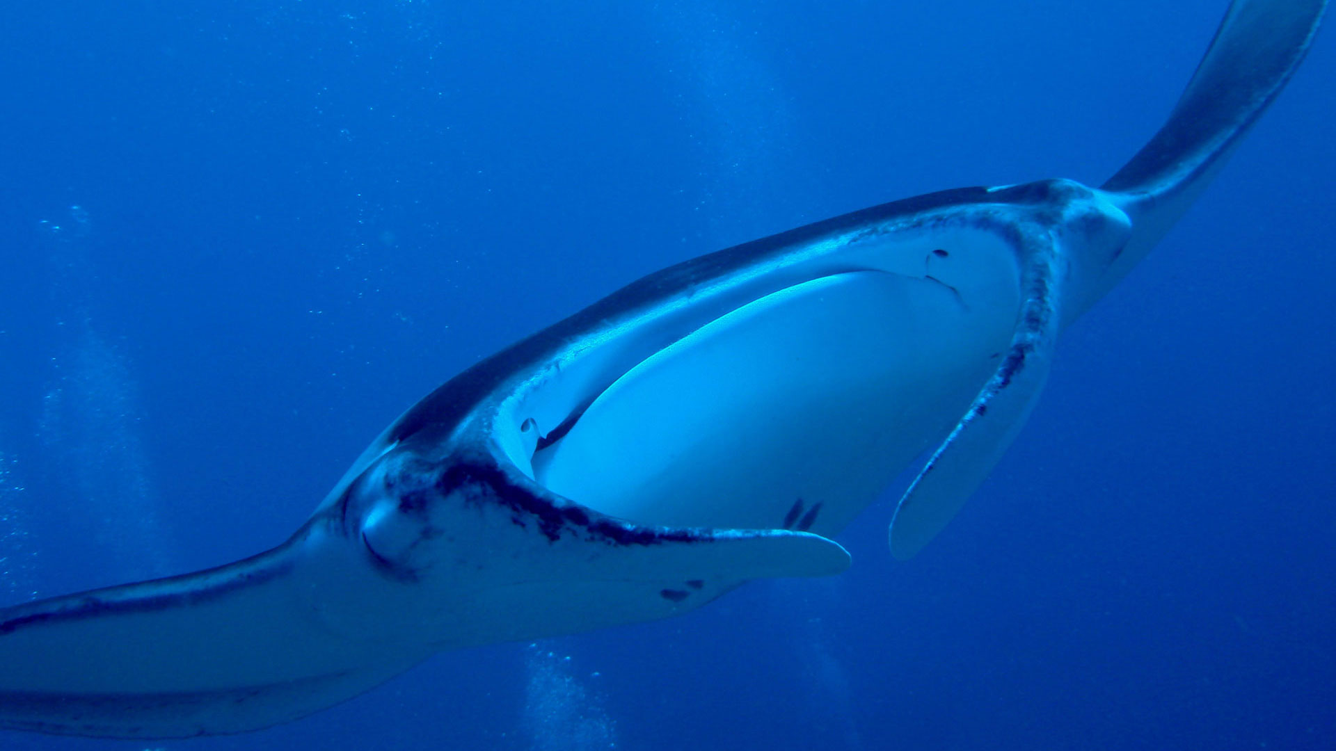 Manta Ray approaching Maldives