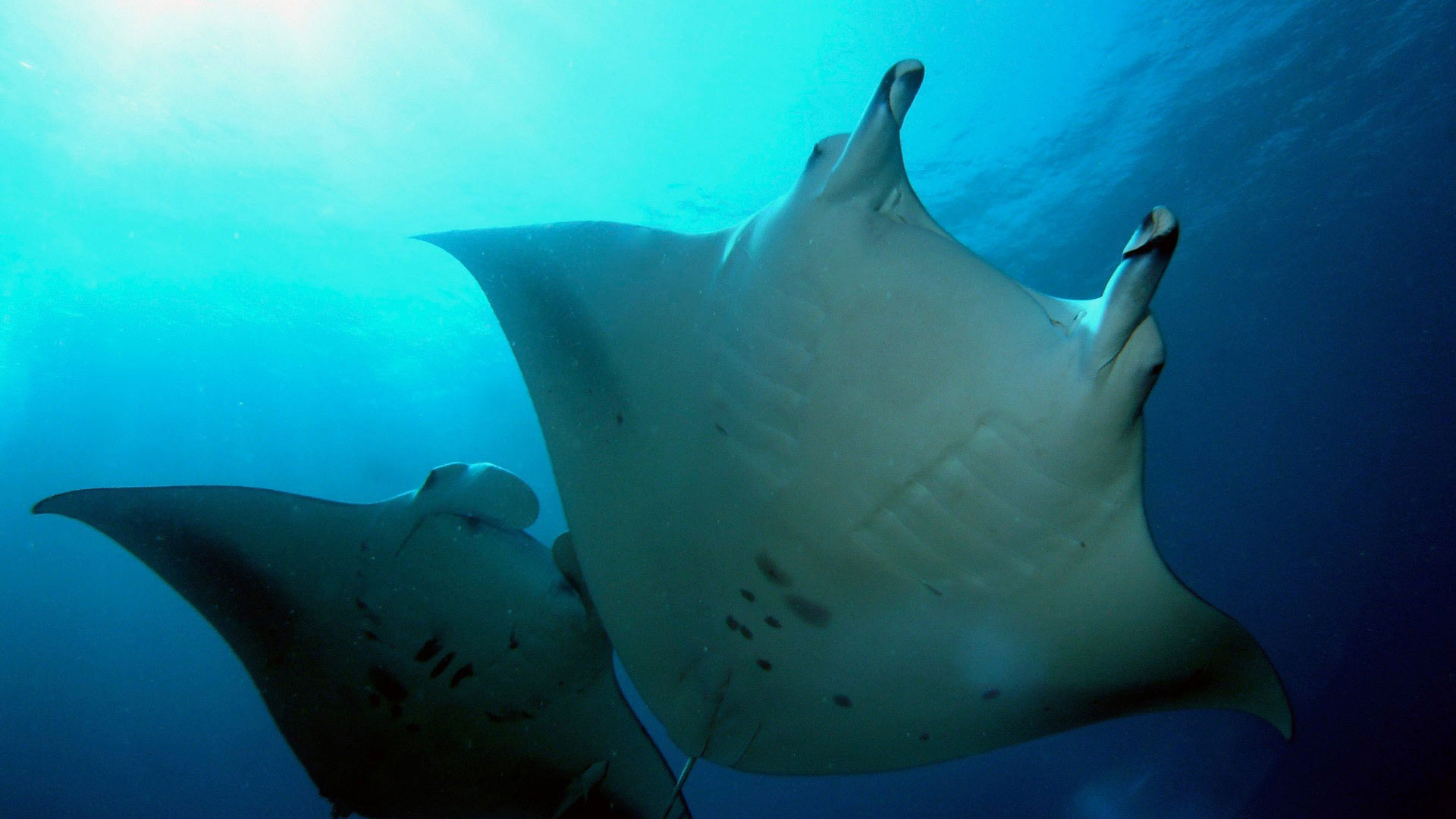 Manta Rays cleaning Divemood Liveaboards Maldives