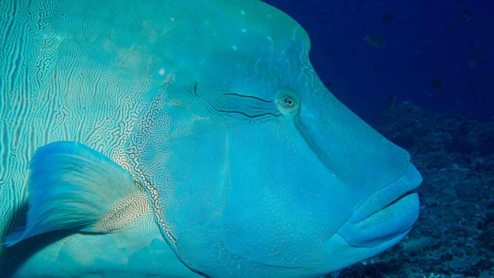 Napoleon Wrasse Maldives Diving