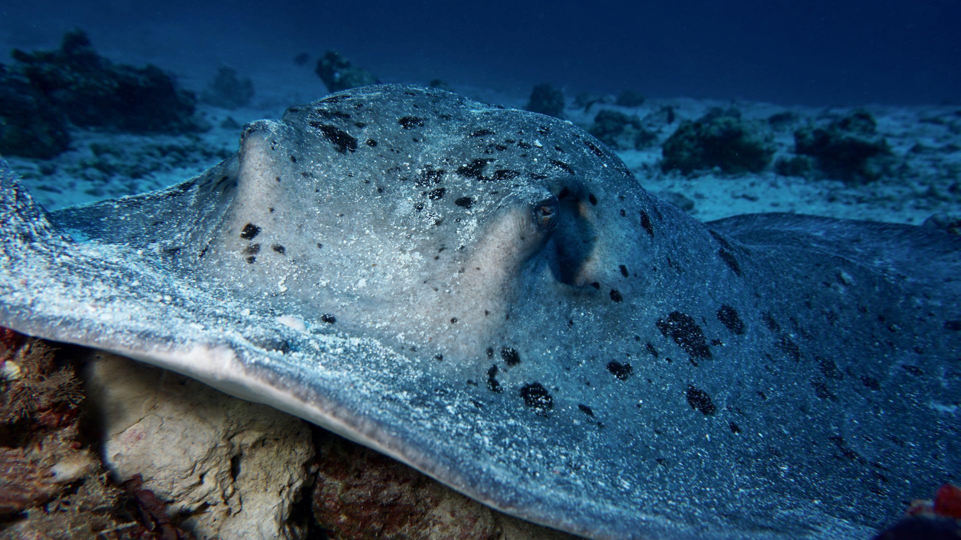 Stingray Maldives Liveaboard diving