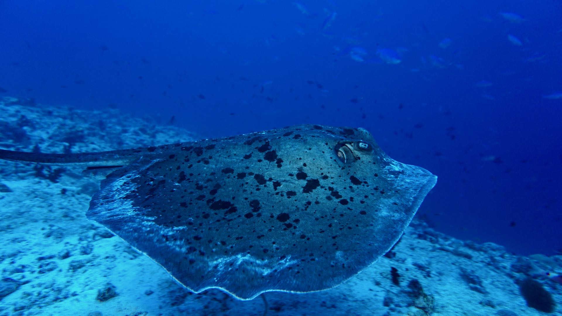 Stingray Swimming Maldives Liveaboard Divemood