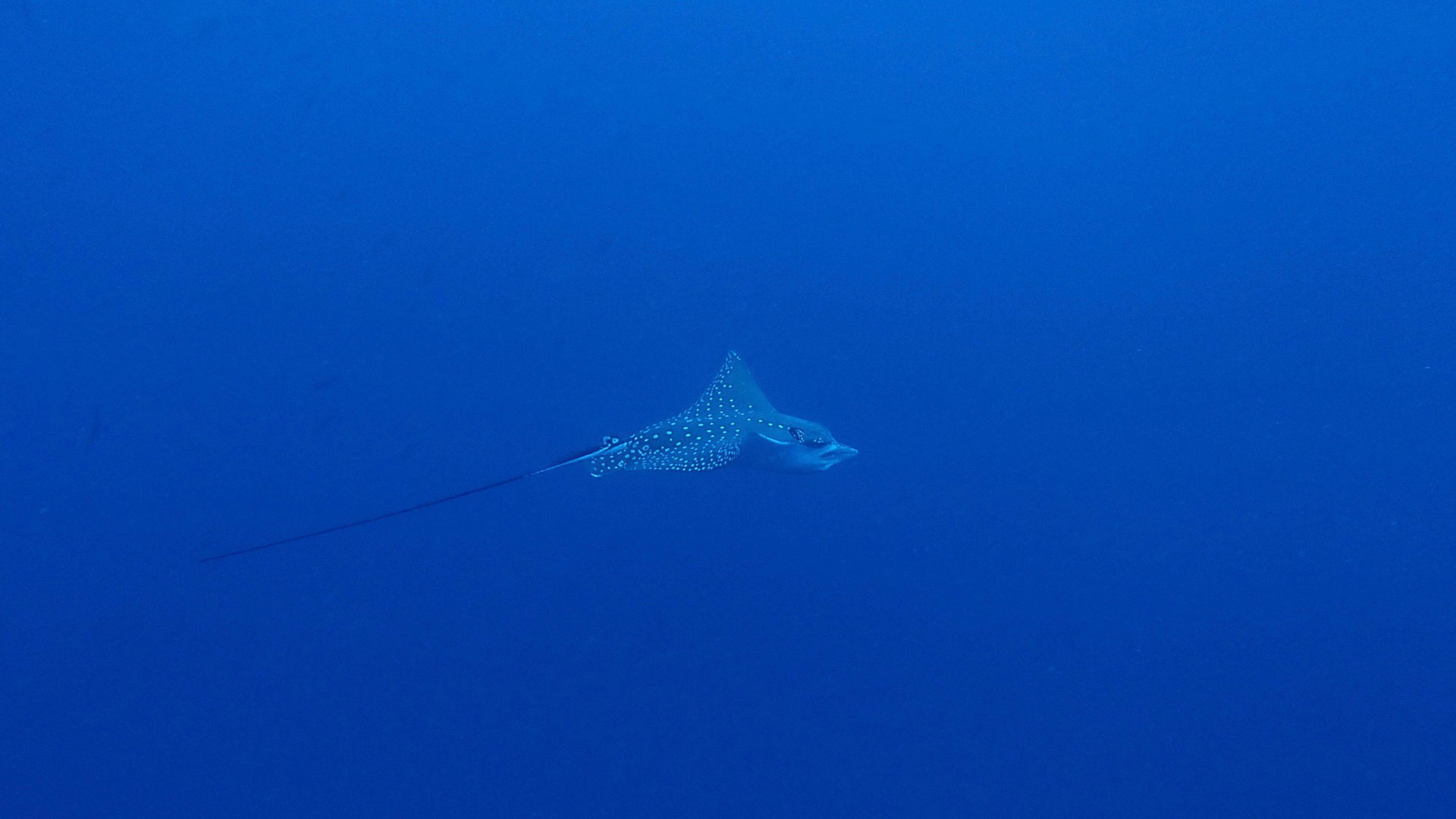 Eagle Ray Maldives Diving