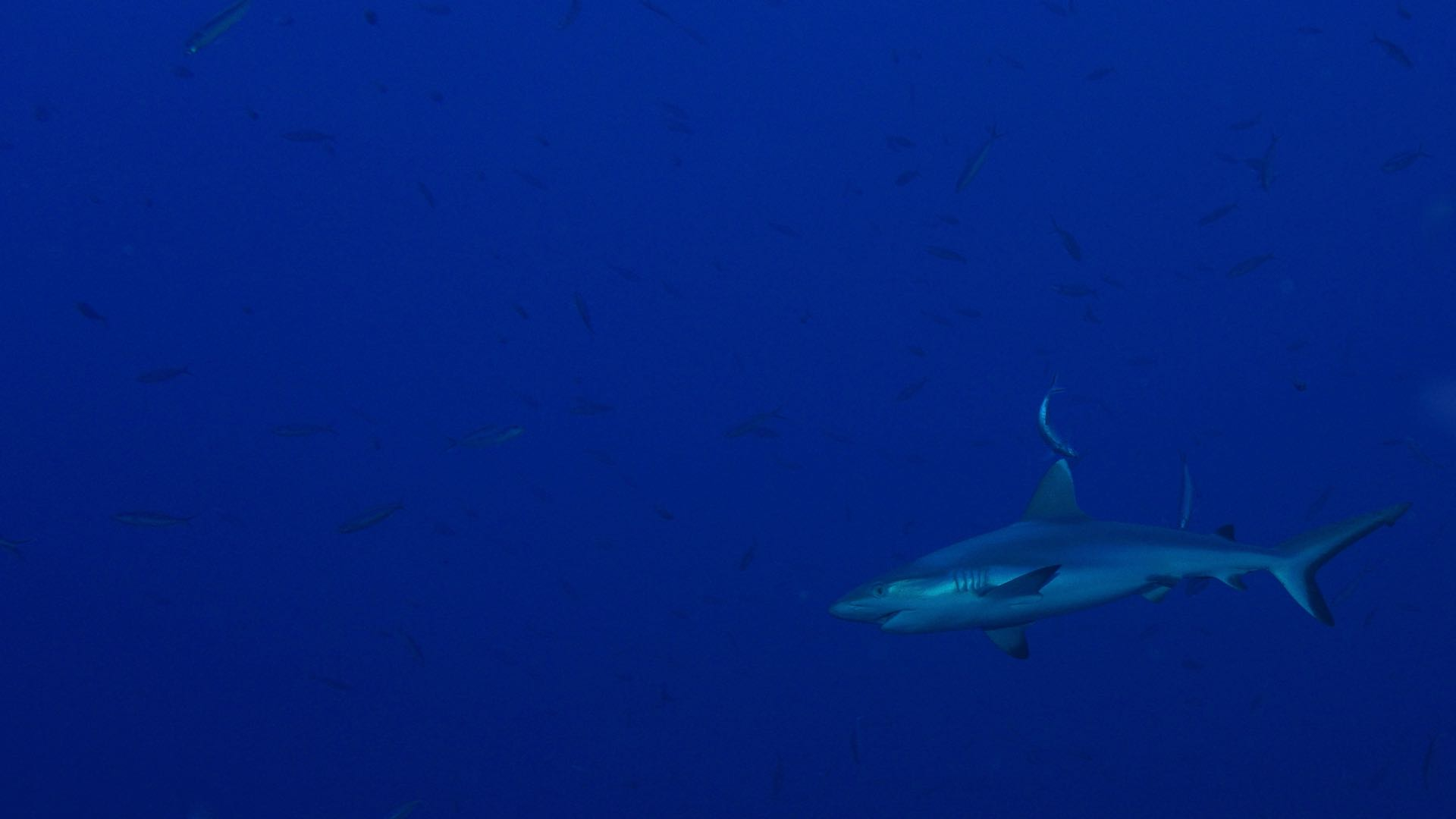 Greyreef Shark Far Maldives Diving