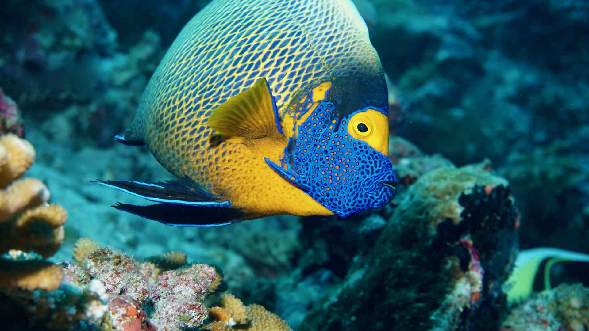 Angelfish Divemood Maldives