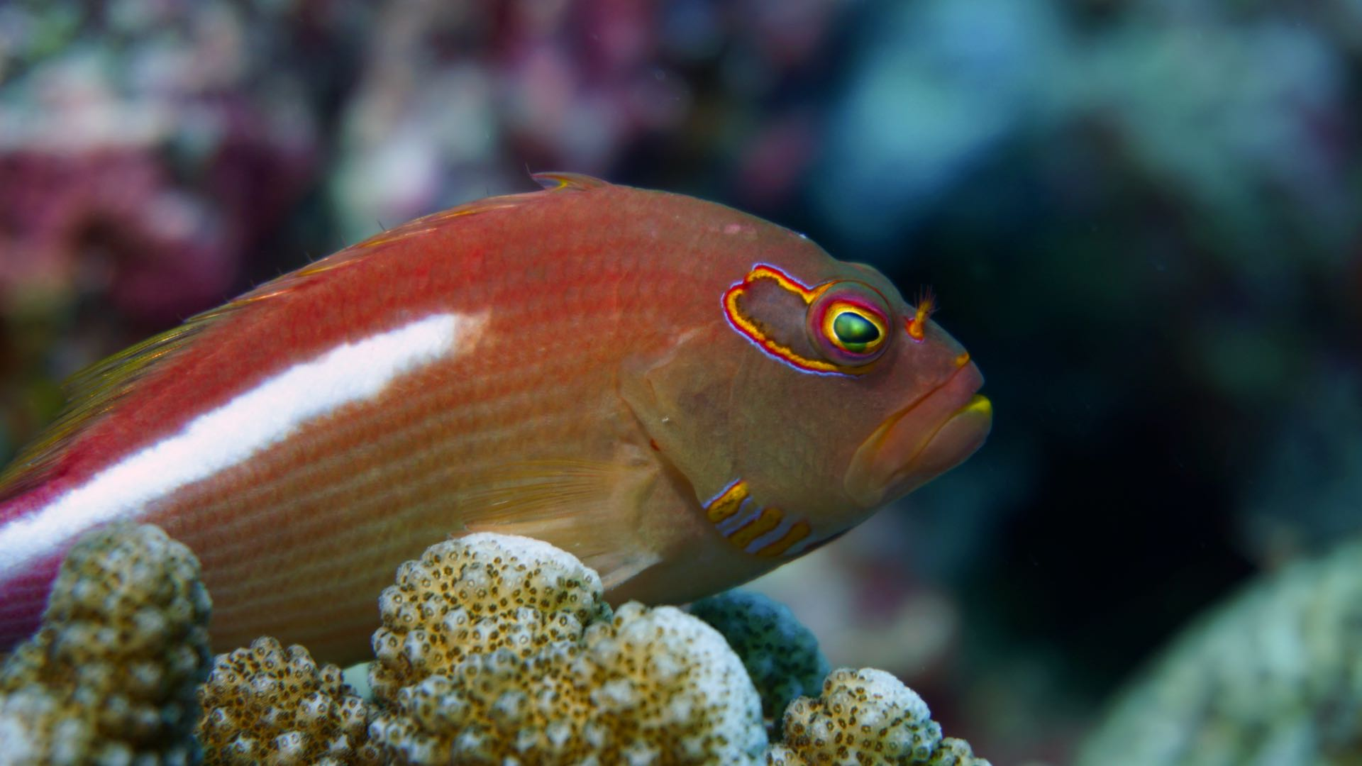 Arc Eye Hawkfish Maldives Liveaboard Divemood