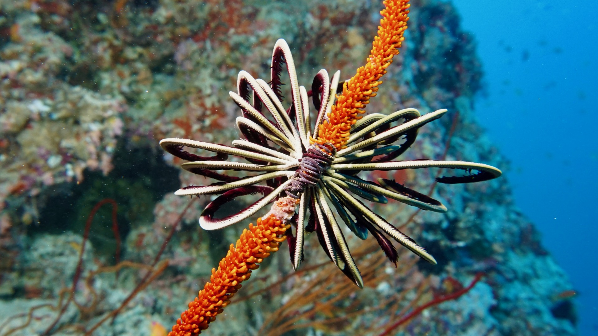 Featherstar On Whipcoral Maldives Liveaboard Divemood