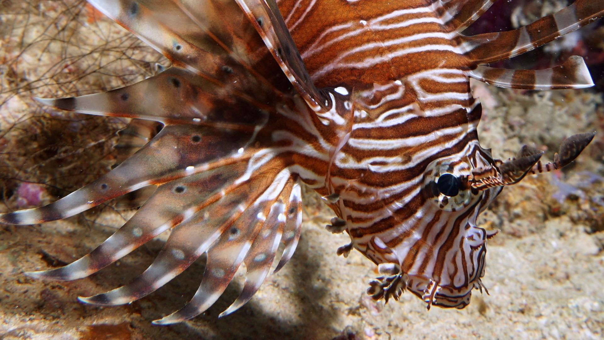 Lionfish Hunting Maldives Diving