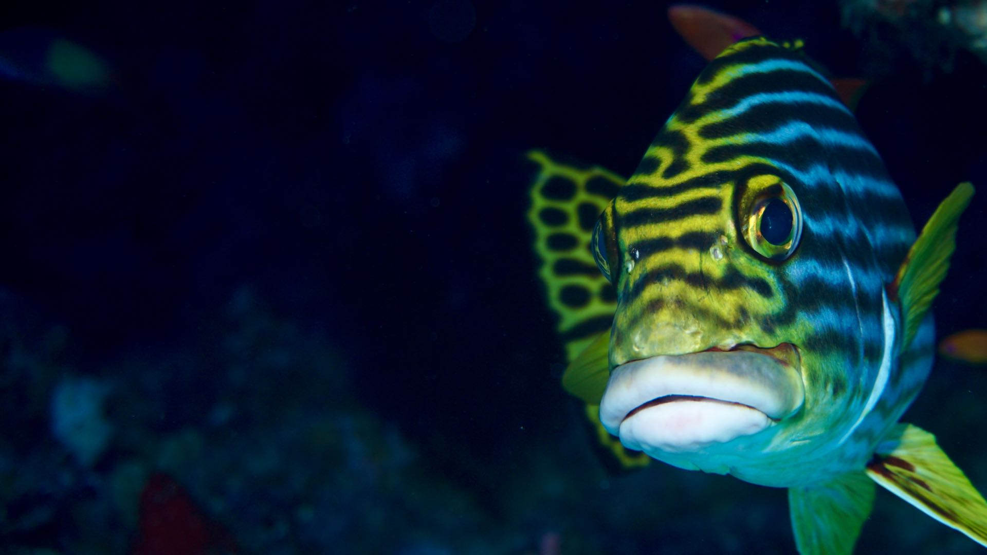 Oriental Sweetlips Face Maldives Diving