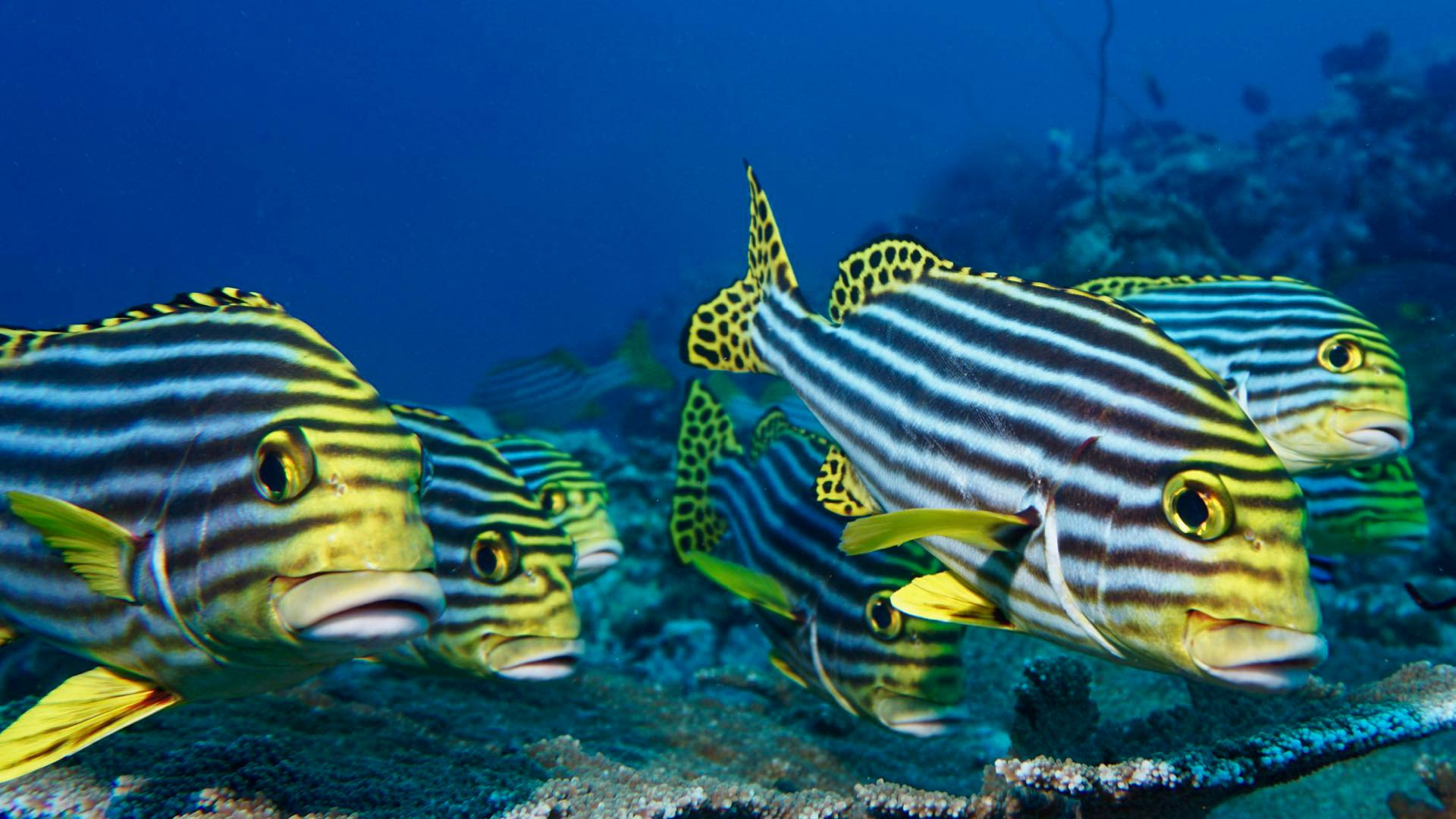 Oriental Sweetlips Maldives Divemood Liveaboards
