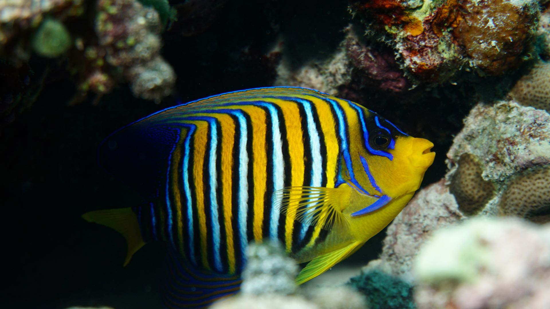 Regal Angelfish Divemood Maldives