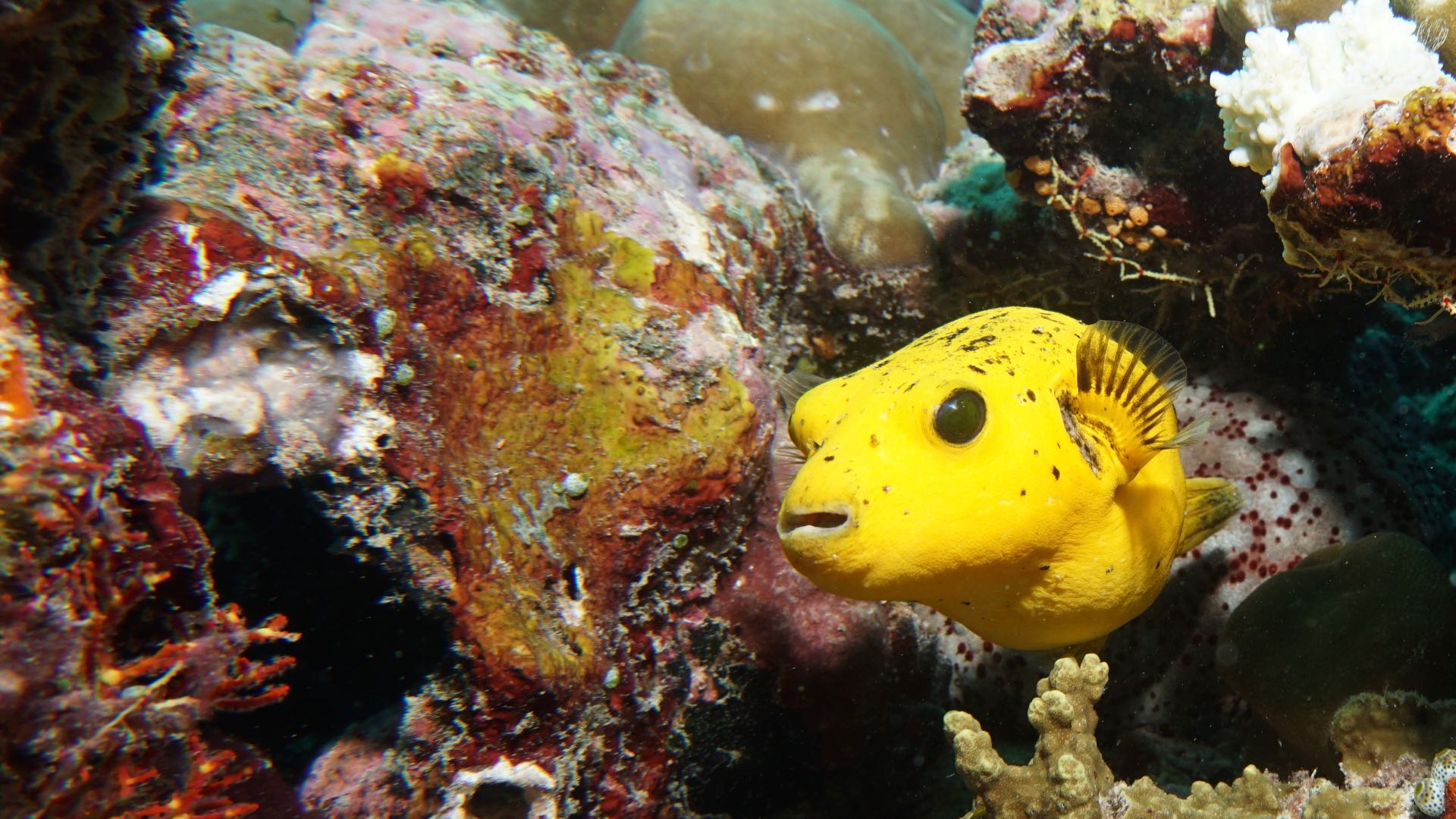 Yellowpuffer Maldives Diving