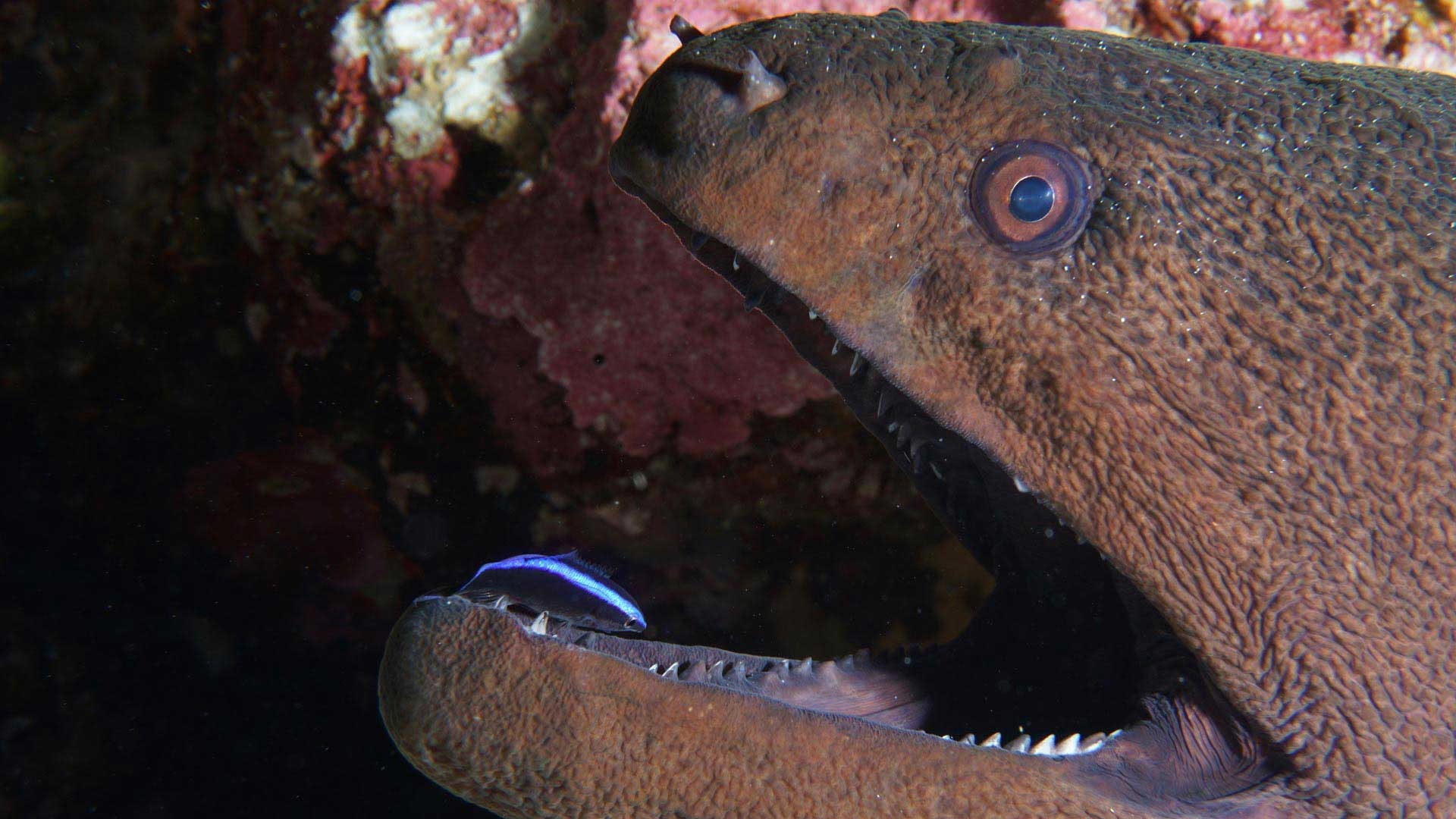 Cleanerfish Moray Maldives Diving