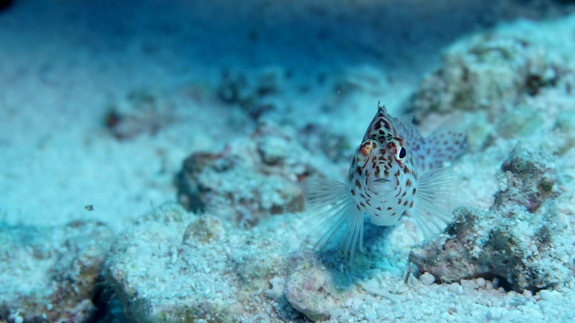 Goby Diving Maldives