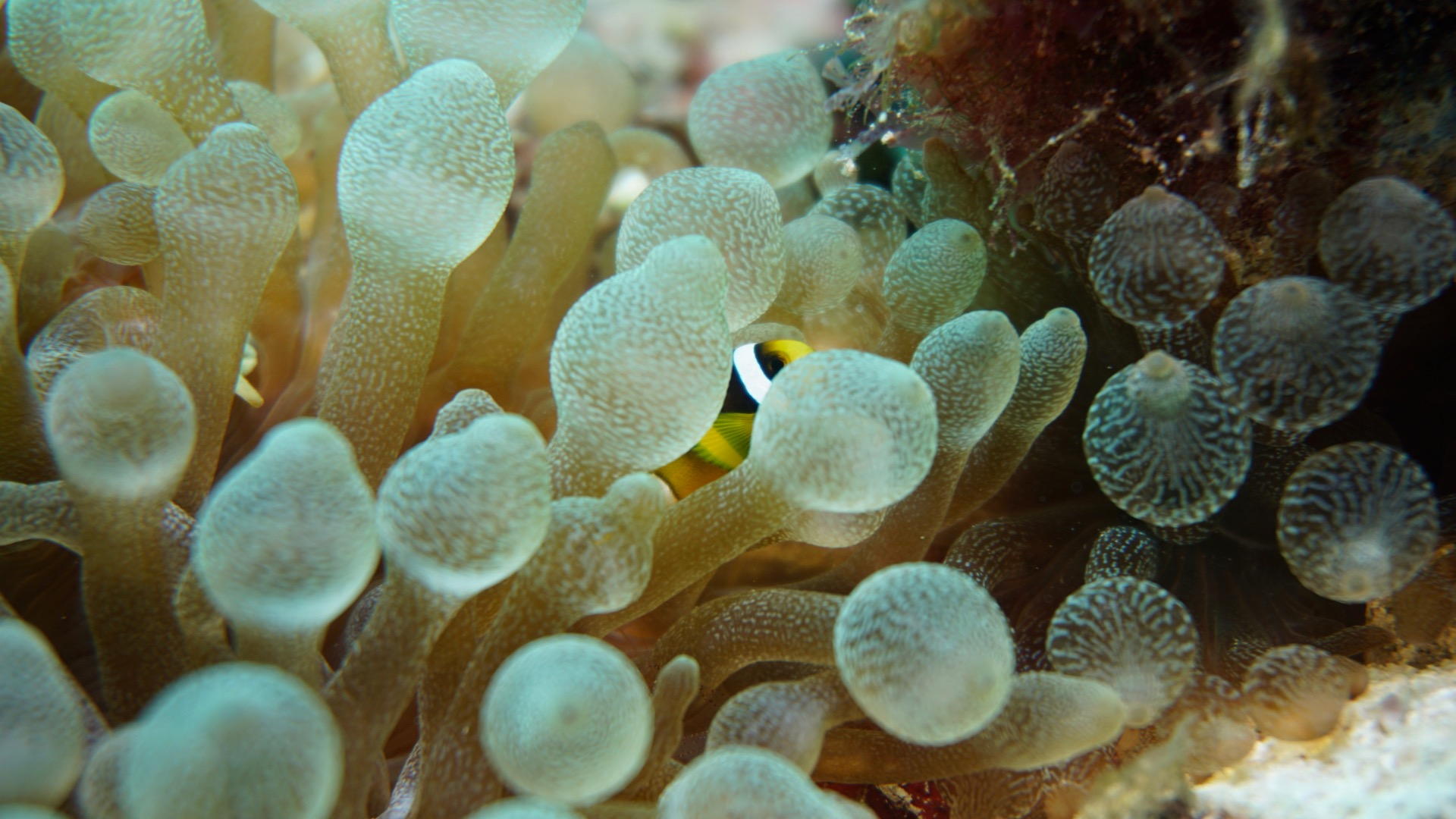 Small Anemonefish Maldives Liveaboard Divemood