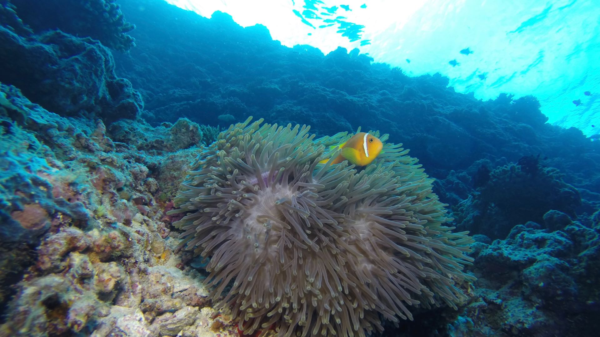 Underwater Scenery Maldives Diving Anemone