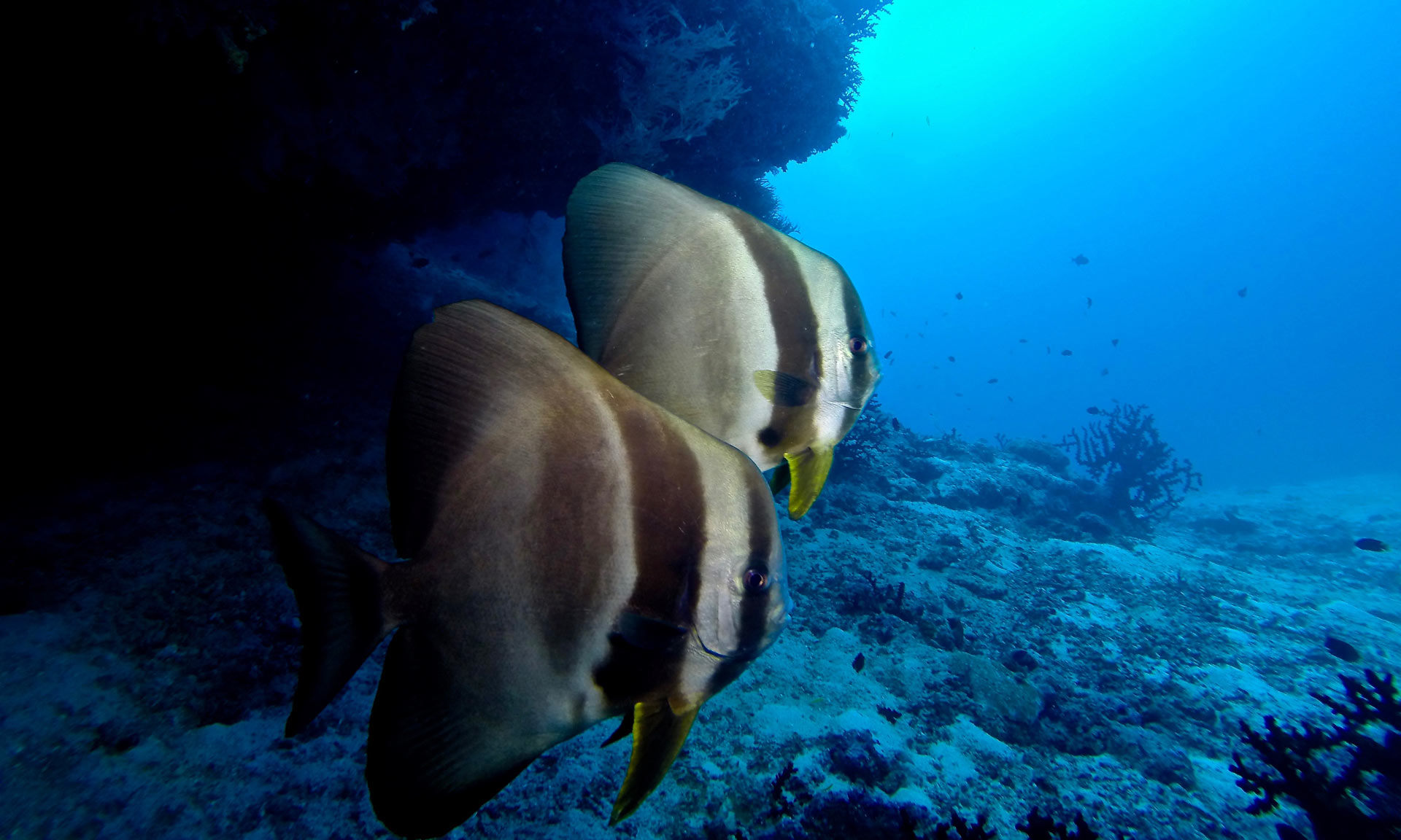 Underwater Scenery Maldives Diving Batfish