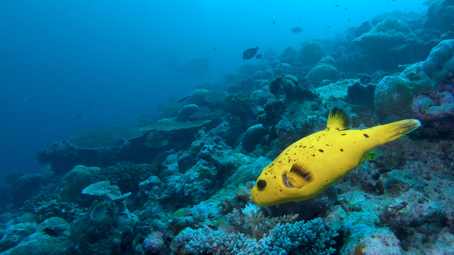 Underwater Scenery Maldives Diving Yellow Puffer