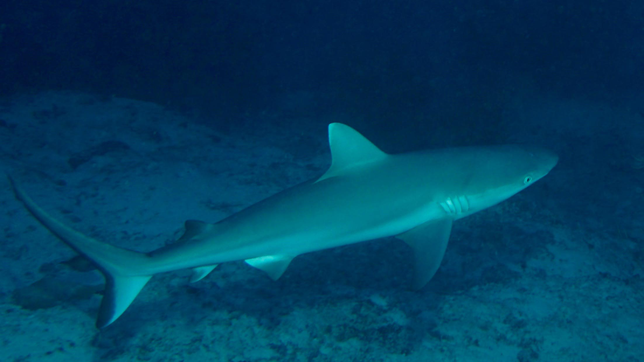 Grey Reef Shark Maldives Liveaboard Divemood