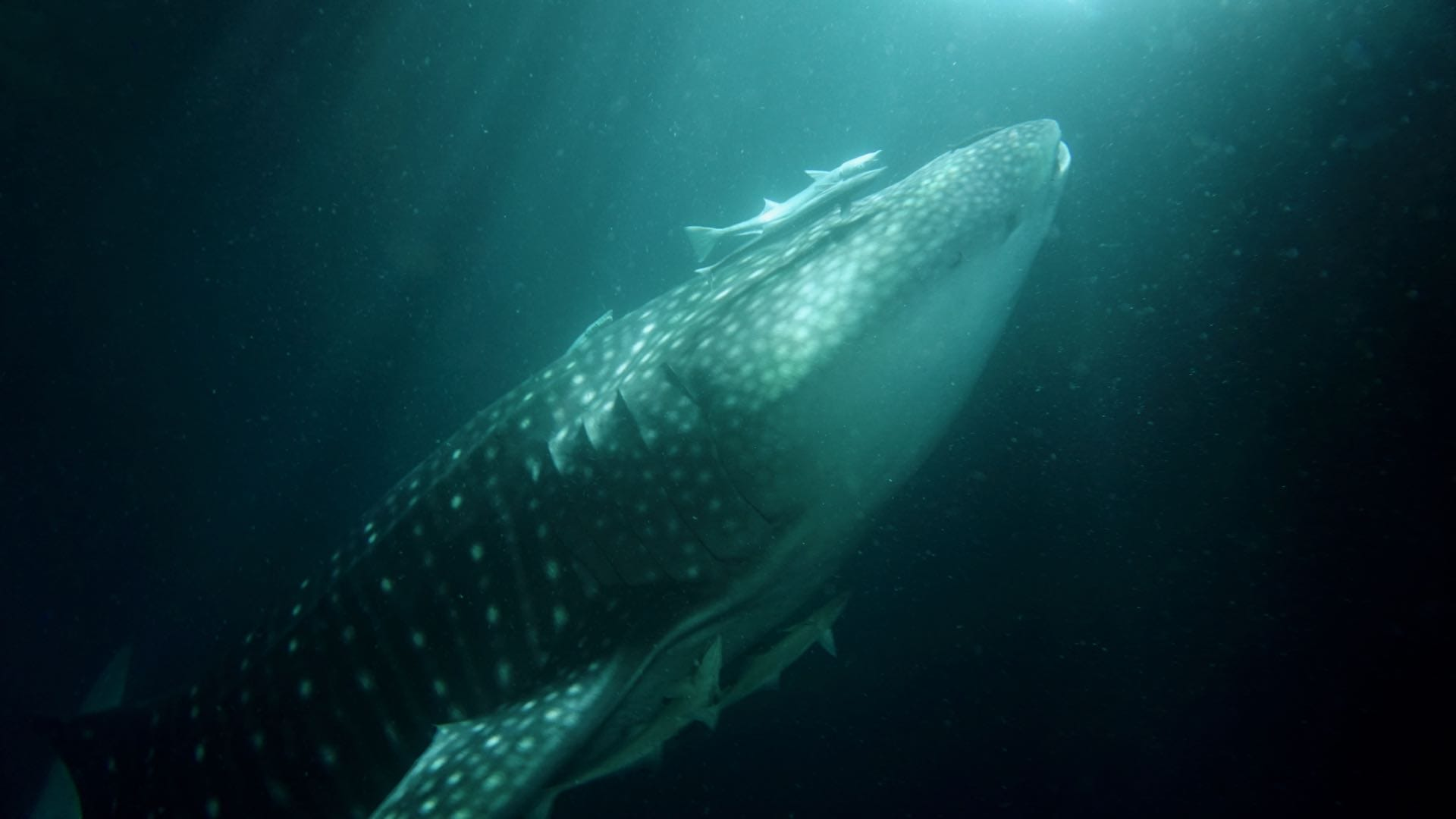 divemood emperor orion trip whaleshark