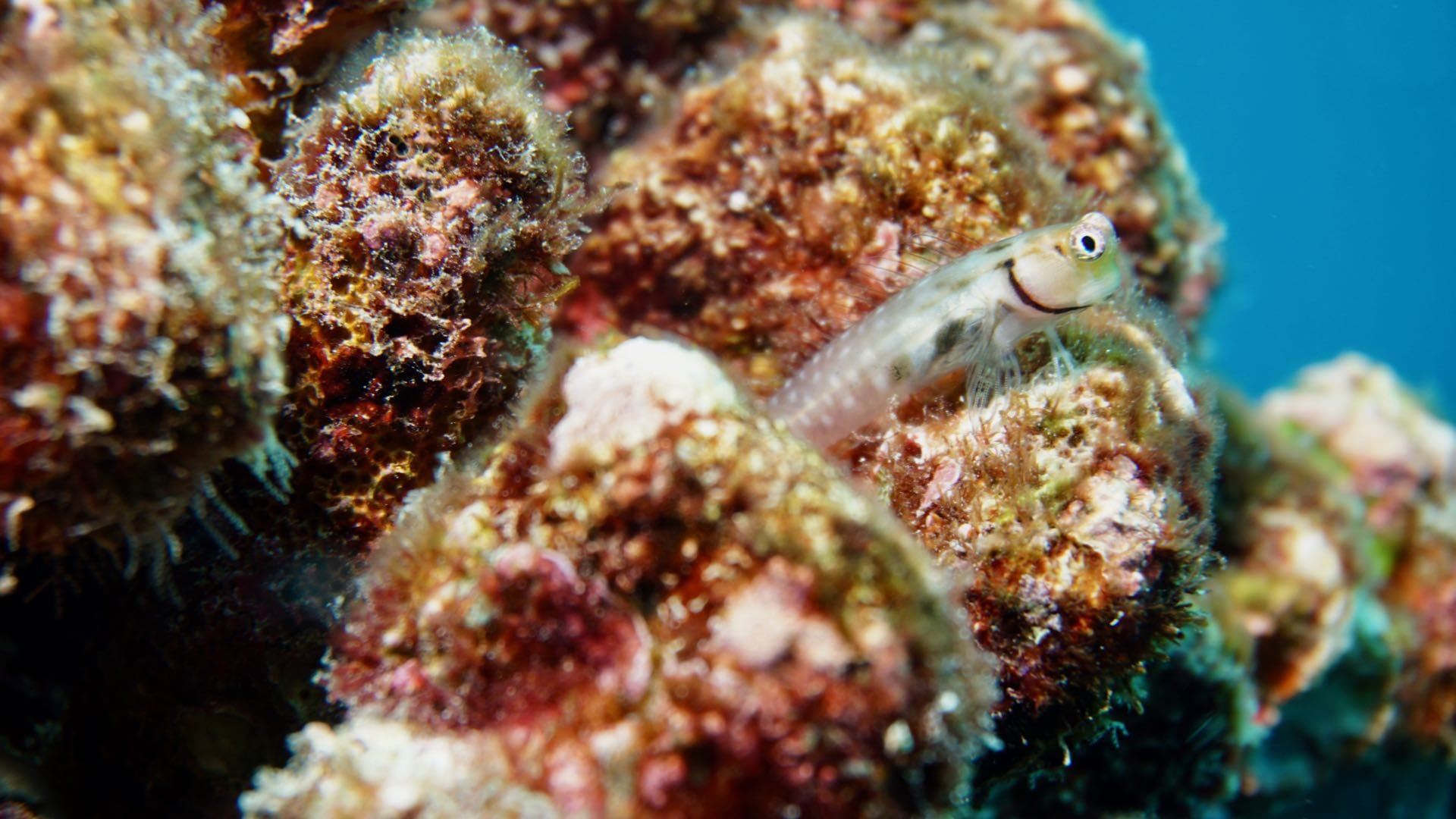 divemood emperor orion south trip blenny