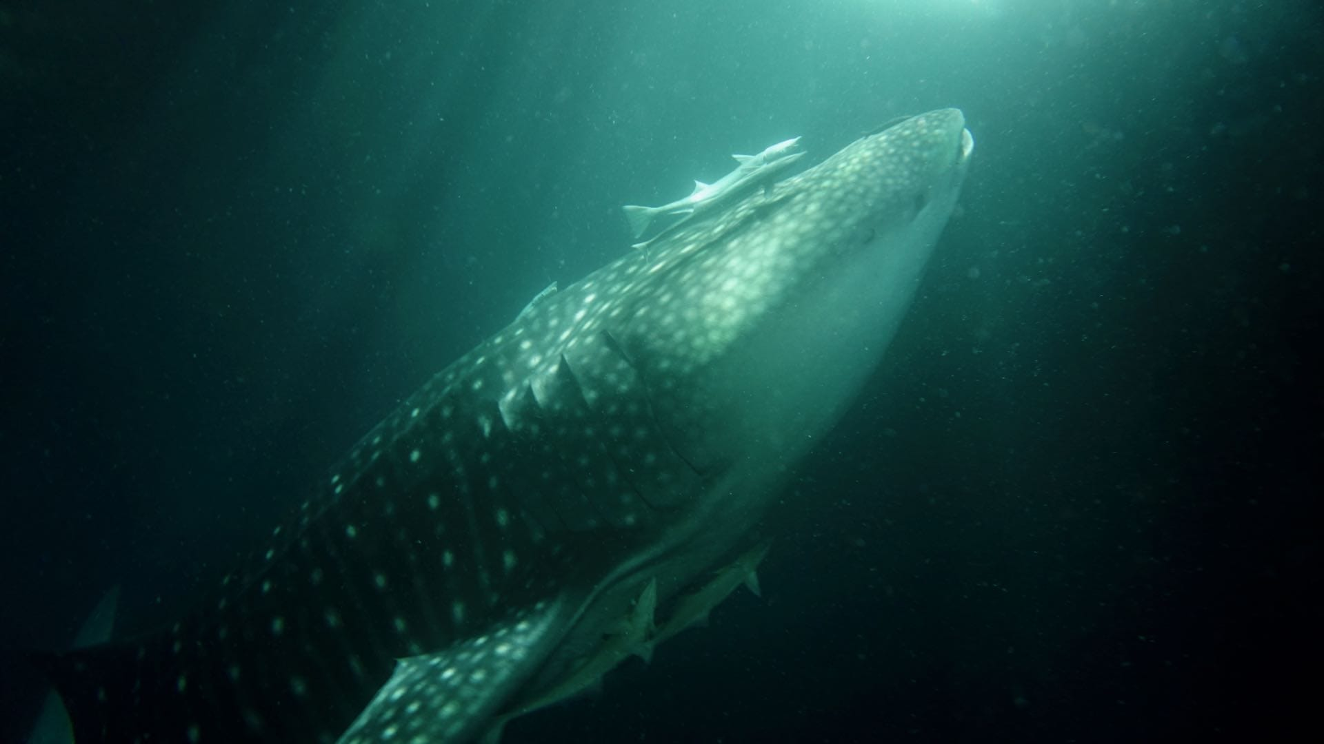 Whaleshark behind the Emperor Orion