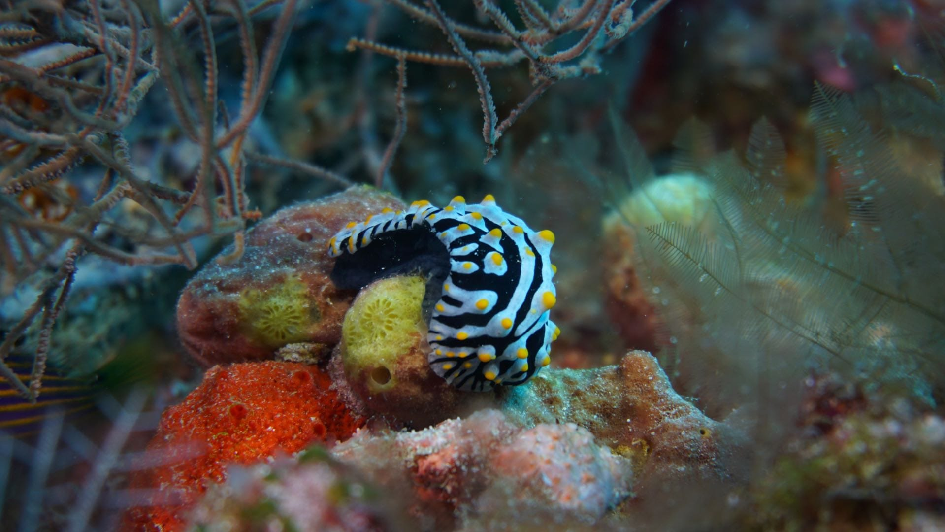 Divemood Ari Queen Liveaboard Nudibranch