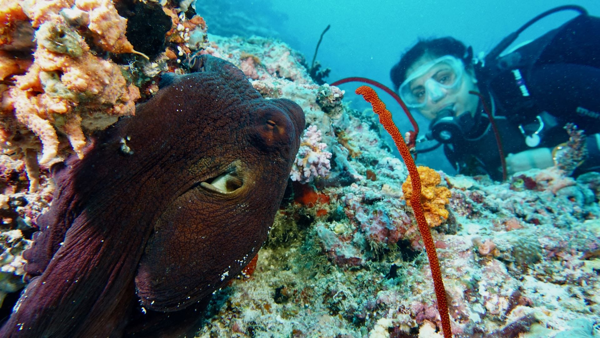 Divemood Ari Queen Liveaboard Octopus With Alla