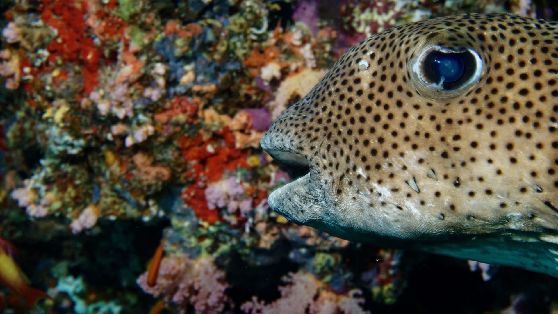 Divemood Ari Queen Liveaboard Pufferfish
