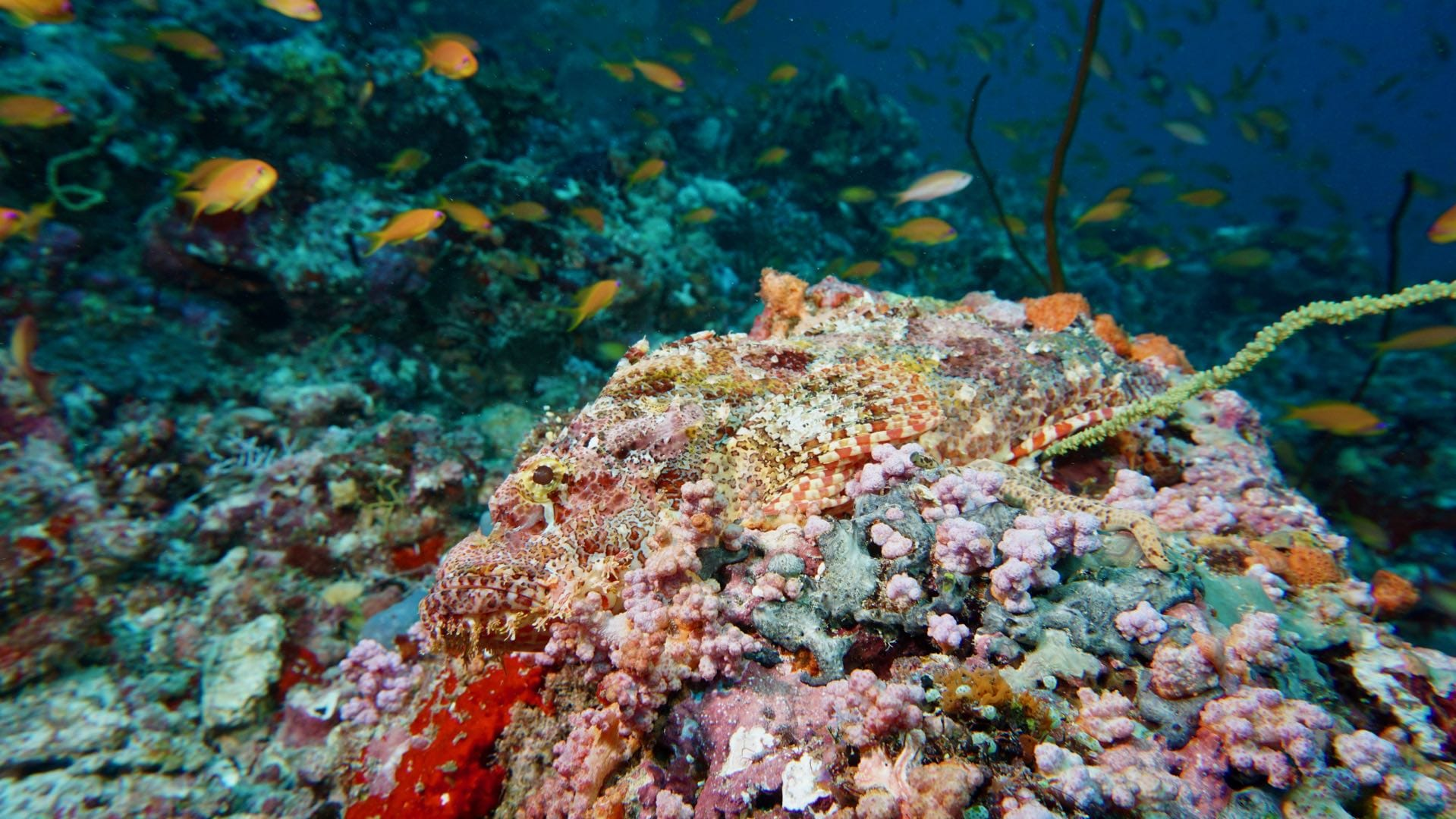 Divemood Ari Queen Liveaboard Scorpionfish Camouflage